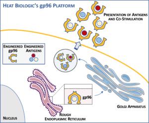 Heat Biologics COVID-19 vaccine model